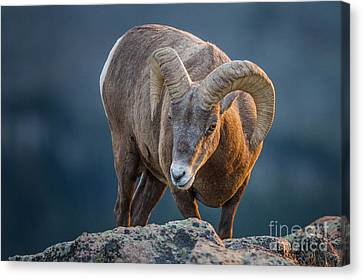Rocky Mountain Big Horn Ram Canvas Print by Ronald Lutz