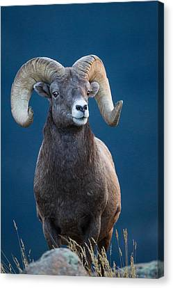 Rocky Mountain Big Horn Canvas Print by Ronald Lutz