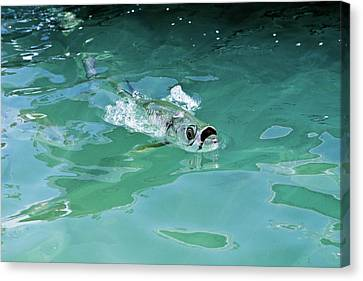 Rolling Tarpon Canvas Print by Nick  Shirghio