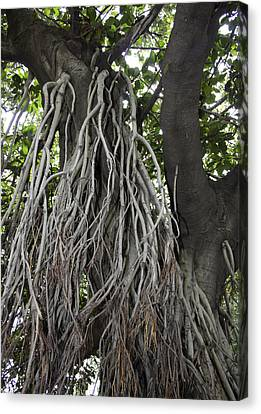 Roots From A Large Tree Inside Jallianwala Bagh Canvas Print by Ashish Agarwal