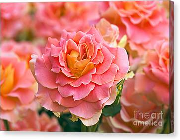 Rosa 'brass Band' Canvas Print by Alan Detrick and Photo Researchers