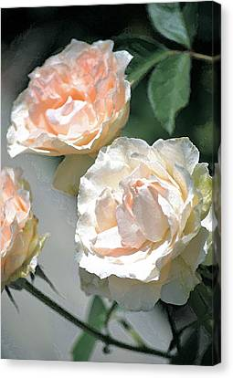 Rose 125 Canvas Print by Pamela Cooper