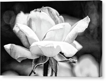 Rose 2 Canvas Print by Rosanne Nitti