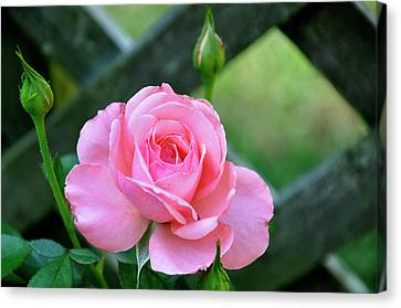 Canvas Print featuring the photograph Rose And Fence by Helen Haw