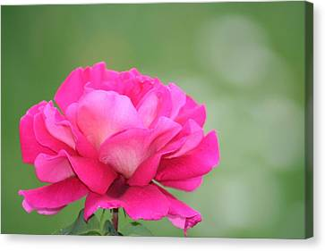 Lanscape Canvas Print - Rose by Andreea Marian