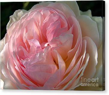 Canvas Print featuring the photograph Rose Anglaise by Sylvie Leandre