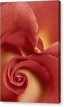 Rose Canvas Print by Anne Gordon