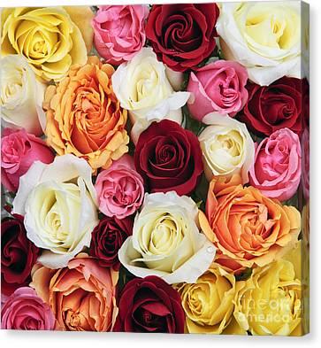 Rose Blossoms Canvas Print by Elena Elisseeva