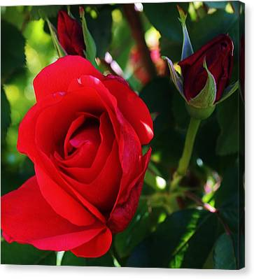 Rose Delight Canvas Print by Bruce Bley