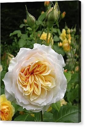 Rose Flower (rosa Sp.) Canvas Print