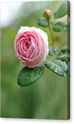 Rose  'geoff Hamilton' Canvas Print by Myu-myu