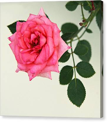 Canvas Print featuring the photograph Rose In Full Bloom by Brooke T Ryan