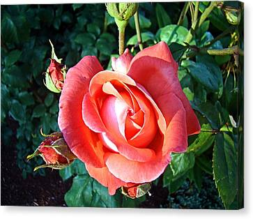 Rose In Setting Sun Canvas Print by Nick Kloepping