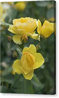 Rose (rosa 'charlotte Auspoly') Canvas Print by Dr Keith Wheeler