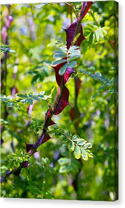 Rose (rosa Sericea Pteracantha) Canvas Print by Dr Keith Wheeler