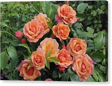 Rose Rosa Sp Aprikola Variety Flowers Canvas Print