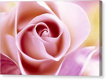 Rose Rosa Sp Close Up Of Pink Flower Canvas Print