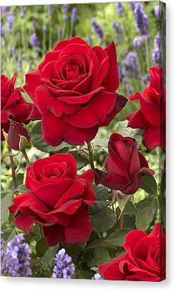 Rose Rosa Sp Flowers Canvas Print