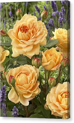 Rose Rosa Sp Golden Celebration Variety Canvas Print