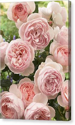Rose Rosa Sp Heritage Variety Flowers Canvas Print