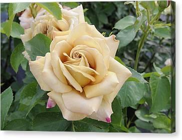 Rose Rosa Sp Honey Dijon Variety Flowers Canvas Print