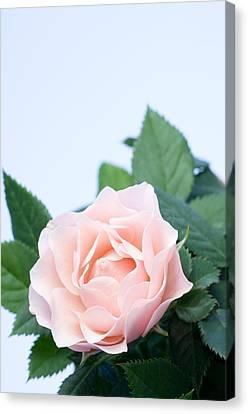 Rose (rosa Sp.) Canvas Print