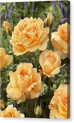 Rose Rosa Sp Solo Mio Renaissance Canvas Print