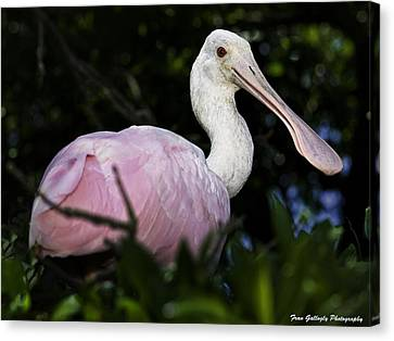 Roseate Spoonbill Canvas Print by Fran Gallogly
