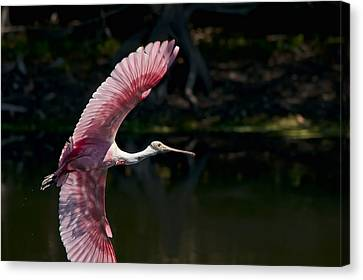 Canvas Print featuring the photograph Roseate Spoonbill by Steven Sparks