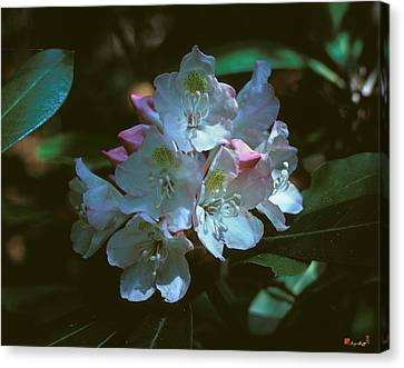 Rosebay Rhododendron 3b Canvas Print