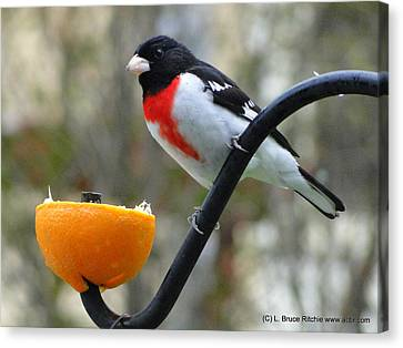 Rosebreasted Grossbeak Eating Orange Canvas Print