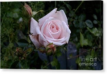 Roses In Bloom Canvas Print by Garnett  Jaeger