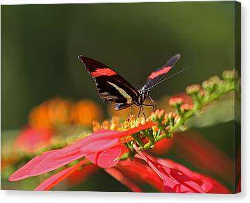 Rosina Butterfly Canvas Print by Juergen Roth