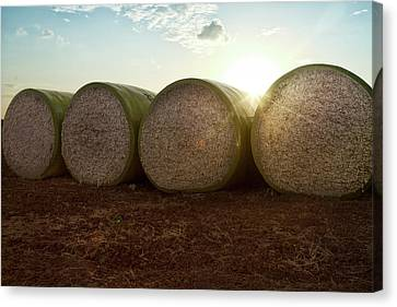Round Bales Of Picked Cotton Canvas Print by Avi Morag photography
