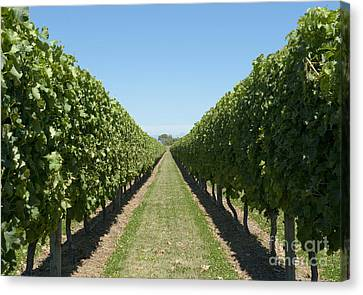 Row Of Grapevines In Vineyard Canvas Print by Dave & Les Jacobs
