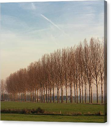 Row Of Trees Against Blue Sky Canvas Print by Leentje photography by Helaine Weide