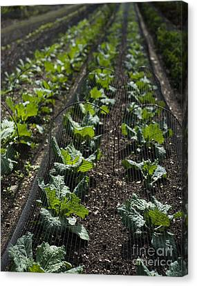 Rows Of Cabbage Canvas Print by Anne Gilbert