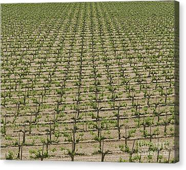 Rows Of Grape Vines Canvas Print by Dave & Les Jacobs