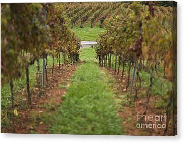 Rows Of Grape Vines Canvas Print by Roberto Westbrook
