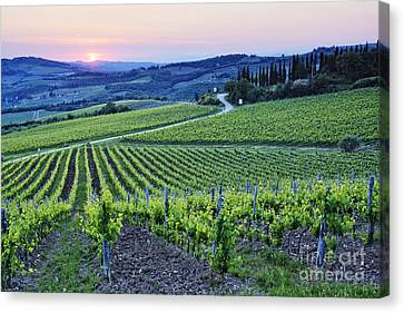 Rows Of Grapevines At Sunset Canvas Print by Jeremy Woodhouse