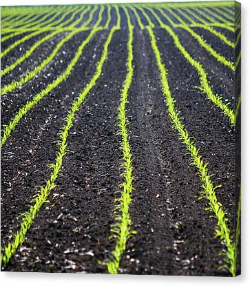 Rows Of Maize Seeds Canvas Print by Baerbel Wilm