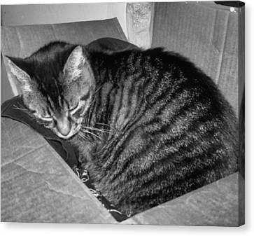 Rox In A Box Canvas Print by Juliana  Blessington