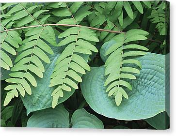 Royal Fern (osmunda Regalis) Canvas Print by Archie Young