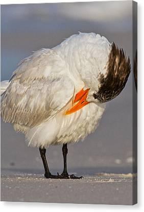 Siesta Key Canvas Print - Royal Tern by Betsy Knapp