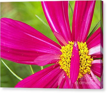 Ruby Cosmo Canvas Print by Judy Via-Wolff