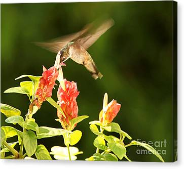 Canvas Print featuring the photograph Ruby Throat Hummingbird by Luana K Perez