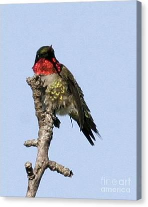 Ruby-throated Hummingbird Canvas Print by Deborah  Smith