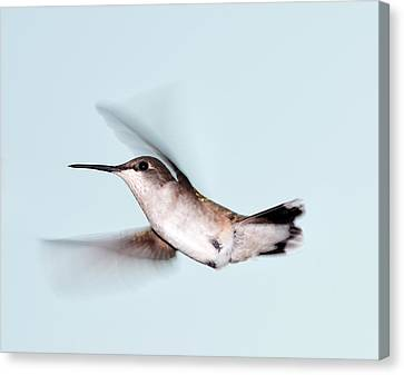 Ruby-throated Hummingbird In Flight Canvas Print