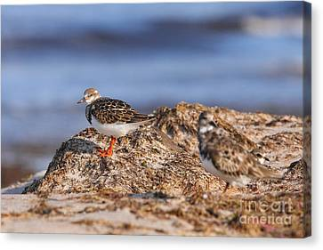 Ruddy Turnstone  Canvas Print by Jennifer Zelik