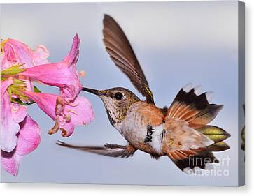 Canvas Print featuring the photograph Rufous And Flowers by Jack Moskovita